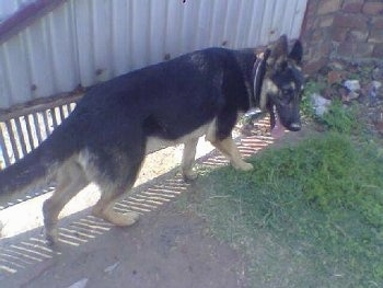 A black and tan German Shepherd is walking outside in front of a gate. its mouth is open and tongue is out