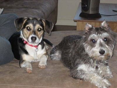 A black with tan and white Jack-A-Bee is laying next to a grey with white Mini-Schnauzer on top of a couch. There is a person behind a Jack-A-Bee