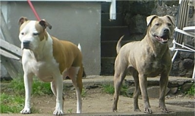 A brown with white American Pit Bull Terrier and a grey Pit Bull/Chow Chow mix are standing on a rock in a front yard