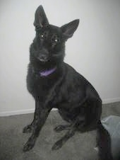 A black German Shepherd is wearing a purple collar sitting in front of a white wall