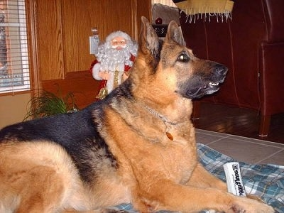 A black and tan German Shepherd is laying on a blanket and looking up. There is a black and white squeeky newspaper toy in between its front paws and a Santa Claus decoration on the other side of the dog against the wall.
