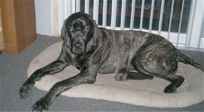A black brindle Giant Maso Mastiff is laying in a dog bed and there is a sliding door with hanging white blinds behind it