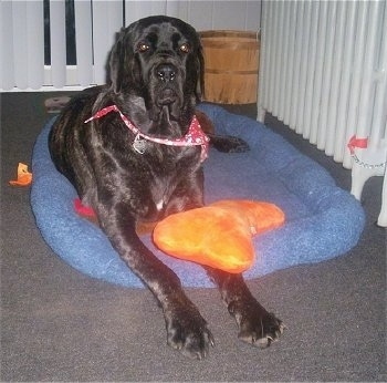 A black brindle Maso Mastiff is wearing a red bandana laying on a blue dog bed with an orange plush doll over its paw