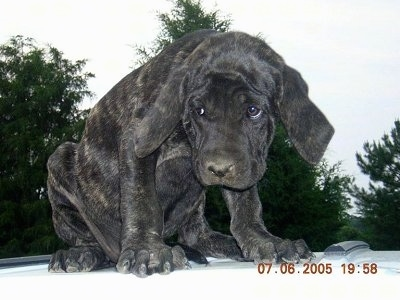 A black Maso Mastiff puppy is sitting on top of a stationary vehicle with its head down