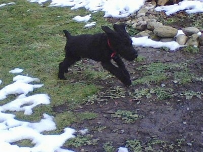 Action shot - A black Giant Schnoodle puppy is running around in grass with patches of dirt and snow.