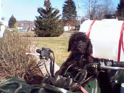 A black Giant Schnoodle puppy is sitting on the seat of a fourwheeler and it is looking forward