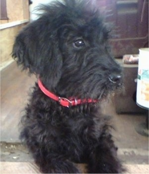 A black Giant Schnoodle puppy is sitting in a room that looks to be underconstruction and looking to the right
