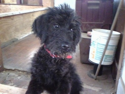 A black Giant Schnoodle puppy is sitting in a room that looks to be underconstruction
