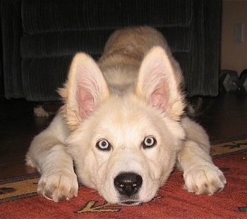 Close up front view - A blue-eyed white Goberian puppy is laying stretched out on top of a red rug and there is a blue arm chair behind it