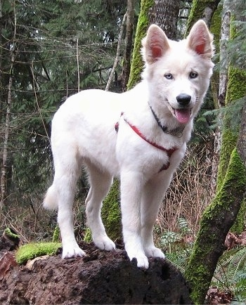 A blue-eyed white Goberian puppy is wearing a red harness standing on top of a log next to a mossy tree