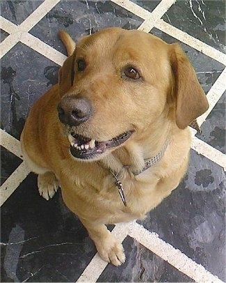 A tan Golden Labrador is sitting in a kitchen on a black and white tiled floor and looking up. Its mouth is open