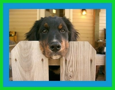 A black with tan and white Golden Mountain dog has its head between the two wood panals of a fence