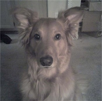 Close up head shot - A Golden Sheltie is sitting on a carpet and looking forward
