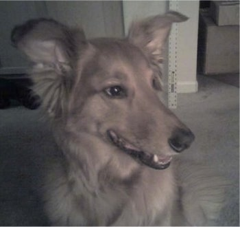 Zeus, the Golden Retriever / Sheltie hybrid (Golden Sheltie) at 7 years old