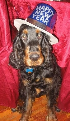 A black and tan Gordon Setter is sitting in front of a red backdrop wearing a blue hat that reads - Happy New Year