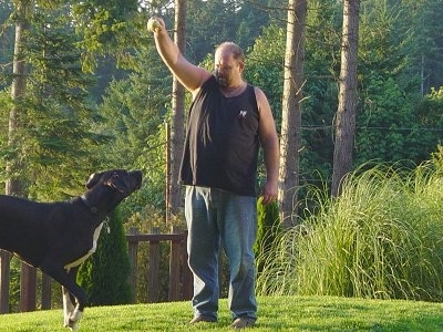 A black with white Great Dane is outside in grass looking at a tennis ball that a person is holding up in the air. There are trees behind them.
