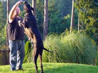 A black with white Great Dane is jumping up at a tennis ball that a person is holding. The dog is as tall as the man with the ball.