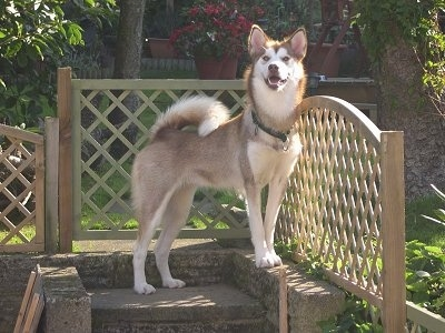A tan with white Greenland Dog is standing outside on a stone step next to a wooden bannister. It is looking forward. Its mouth is open and it looks like it is smiling