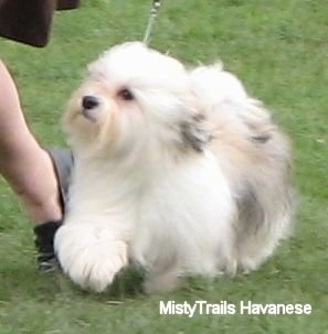 A white with tan and grey Havanese is trotting around in grass at a dog show and looking up at its handler who is running next to it