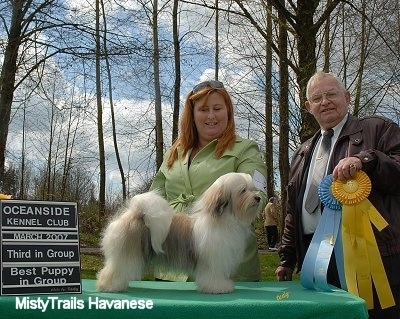 A white with tan and black Havanese is standing on a table in front of a person wearing a lime green shirt. There is a man standing next to them holding a sky blue and a yellow ribbon..