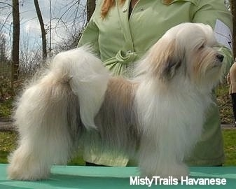 Right Profile - A white with tan and black Havanese is standing outside on a green table being posed in a show stack by a person behind it dressed in lime green.