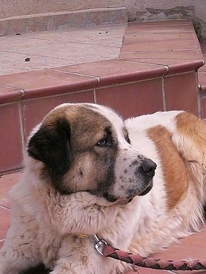 A white with tan Greek Sheepdog is laying outside on a brick step