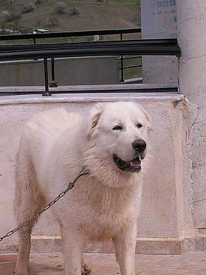 A white Greek Sheepdog is standing on a porch with a concrete wall behind it. Its mouth is open and looking forward