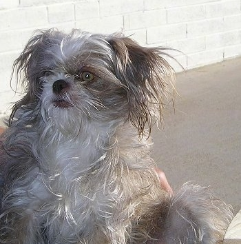 A longhaired, straggly-looking, grey with white ShiChi dog is sitting on a porch chair looking up and to the left.