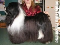 A black with white Havanese is standing on a green countertop. Behind it is a person posing it in a show stack pose.