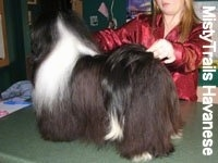 A black with white Havanese is standing on a countertop. behind it is a person in red posing it in a stack