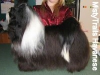 A black with white Havanese is standing on a countertop. Behind it is a person posing in a shwo stack pose it. Its head is up
