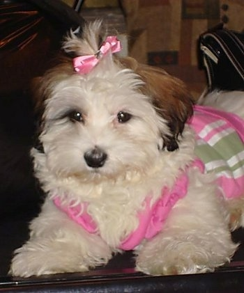 Close Up - A white with brown eared Hava-Apso puppy is sitting on top of a couch wearing a pink, white and green dress and it has a pink ribbon in its hair. There is a black purse behind it.