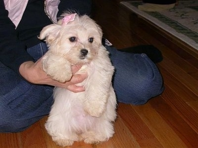 A tan Havanese puppy is wearing a pink bow being held up by the hands of a person wearing blue jeans, a black shirt and a pink scarf who is sitting on the hardwood floor behind it.