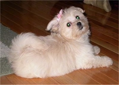 A tan Havanese puppy is laying partially on a rug and on a hardwood floor wearing a pink bow.