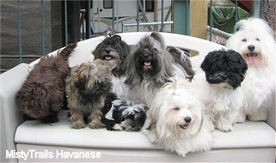 Seven Havanese are laying and sitting outside on a plastic porch couch/storage container
