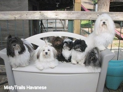 Seven Havanese are sitting and laying on a plastic porch couch/storage bench with a wooden fence behind it