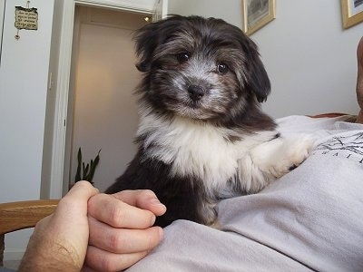 Chica Jr. a Havanese puppy at 3 months old