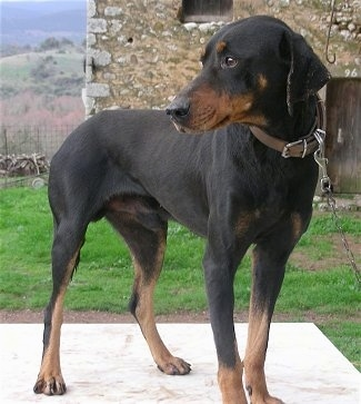 Hermes, a male Hellenic Hound: Owner Alexopoulos Argirios
