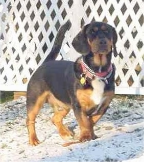 A thick, short legged, low to the ground, black with brown and white Rottweiler/Basset Hound mix is walking across grass covered in a dusting of snow. There is a white fence behind it.