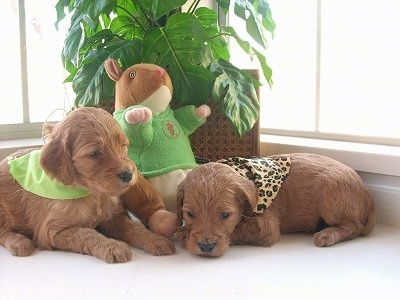 Two Irish Doodle puppies are laying in front of a window. They both are wearing bandanas. There is a plush squirrel leaning against a plant.