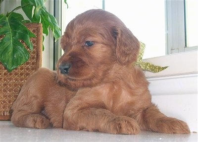 5 week old Irish Doodle Puppy - Mother is an Apricot Standard Poodle,  the father is from a  beautiful Mahogany Red Irish Setter