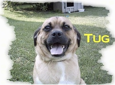 A tan with white and black Jug is sitting in a yard with a dog house in the background. It has its mouth open and tongue out. The word - Tug - is overlayed
