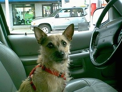 Peanut, the Jacairn (Jack Russell / Cairn Terrier hybrid)