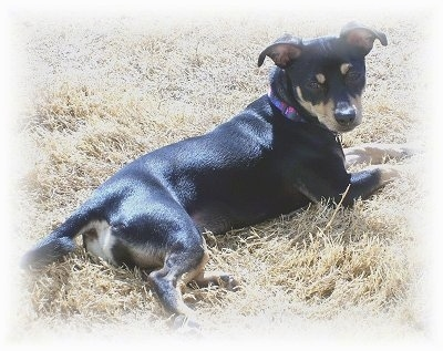 A black with tan Jack Chi is laying outside in brown grass looking back