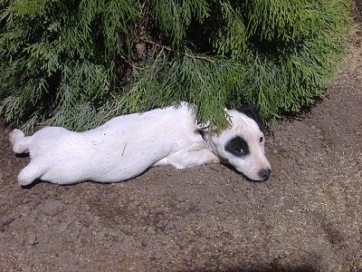 A white with black Jack Russell Terrier is laying in dirt under an evergreen tree. The dog is all white with one black circle patch around one of its eyes.
