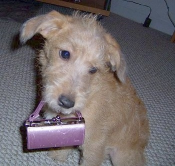 A tan Jack-A-Poo puppy is sitting on a carpet with a purple purse in her mouth