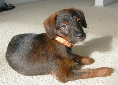 A black and brown Jack-A-Poo puppy is laying on a tan carpet and is turned to look at the camera.