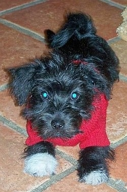 A black with white Jack-A-Poo puppy is wearing a red sweater laying on top of brick red tiled flooring with a plush toy behind it