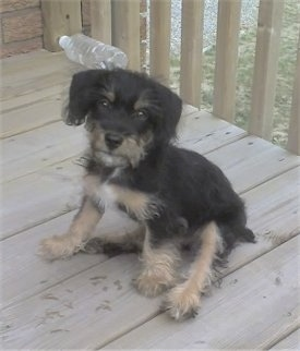 A black with tan and white Jack-A-Poo puppy is sitting on a wooden deck with a sideways empty water bottle behind it