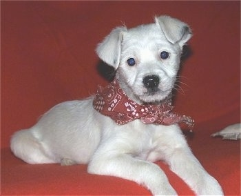 A white with grey Jack-A-Poo puppy is wearing a red bandana and laying on a red couch